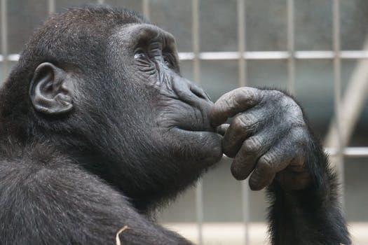 126301_primate-ape-thinking-mimic.jpg