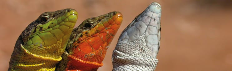 127158_Biology_BCR_Fotofiche_1180op361_Lizards.jpg