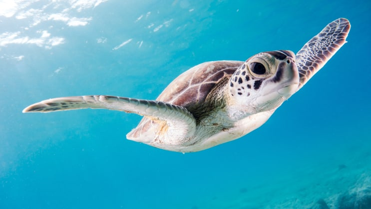 Surprisingly curious, this young turtle swam around us in the shallows during our way out to the Salt Pier, a gorgeous dive site on Bonaire.