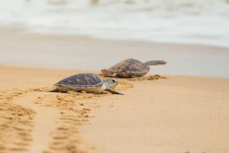 Turtles in Thailand