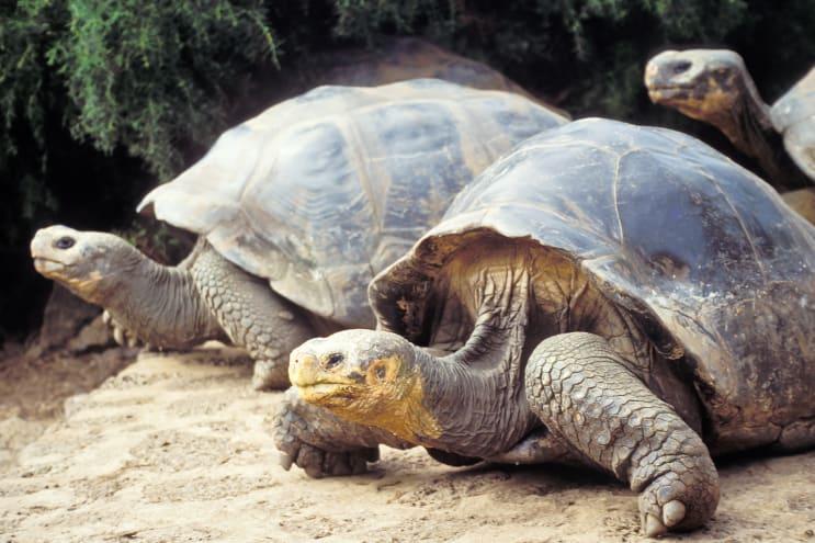 Rewilding - tortoises in Galapogos Islands