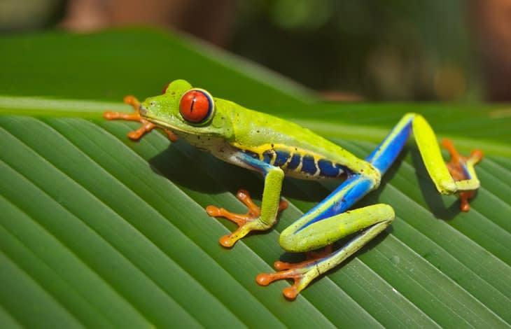 64454_tree-frog-frog-red-eyed-amphibian-76957.jpeg