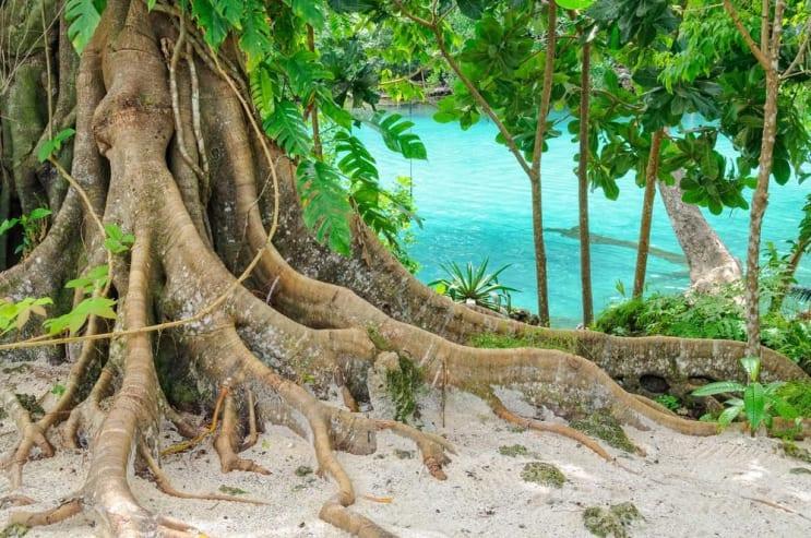 Giant roots at the Blue Lagoon - Efate Island, Vanuatu